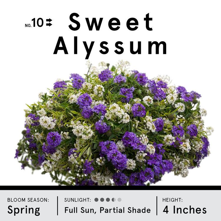 sweet alyssum.jpg