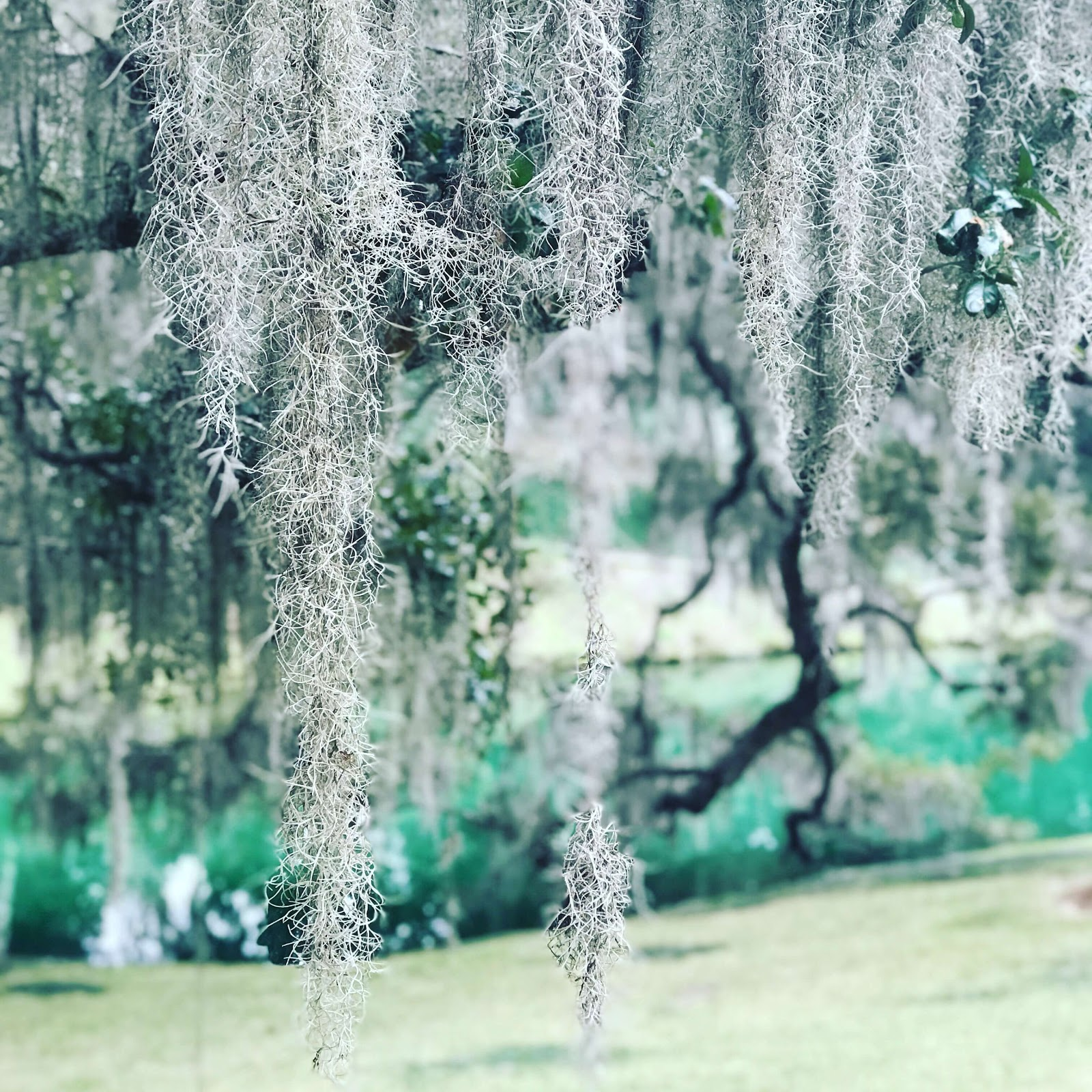 Mepkin Moss.jpg