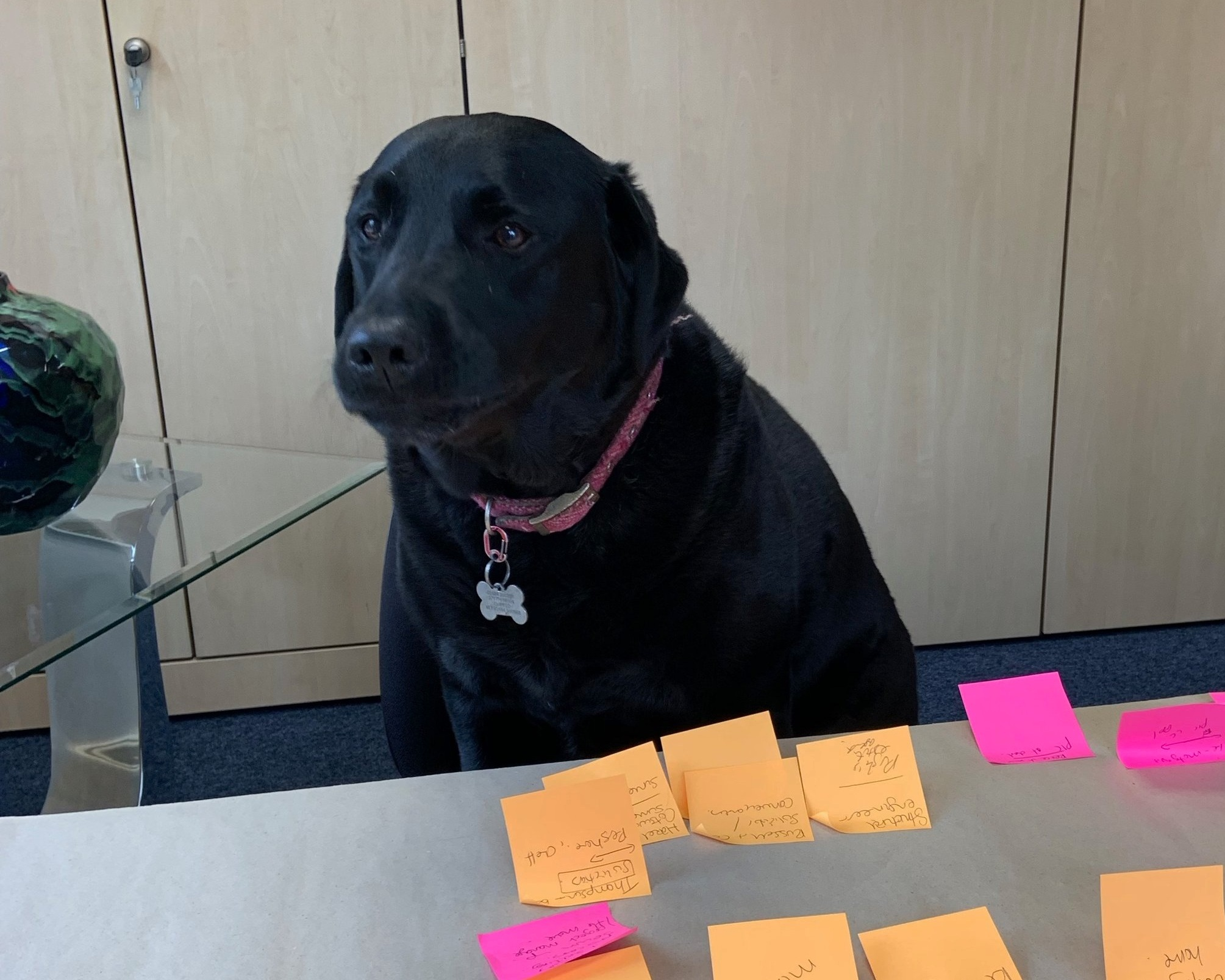 Belle Bamford - Head of WellbeingOffice Mascot, head of wellbeing and floor cleaner.Belle has a very important role in the company and can often be found checking in on everyone to make sure the team are ok.