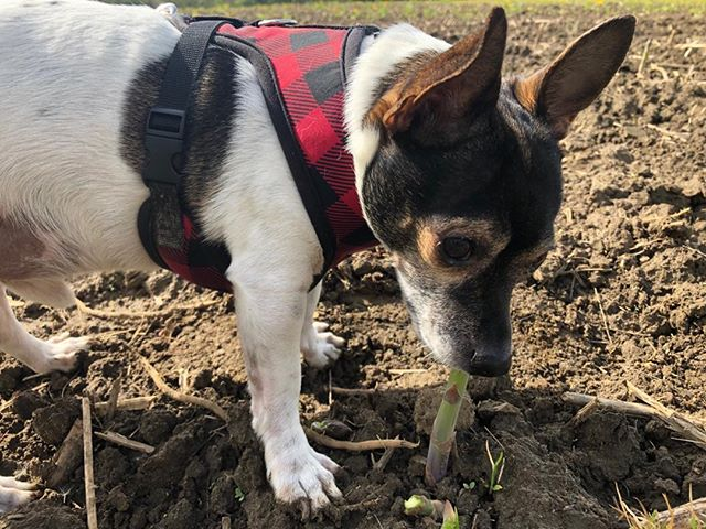 It appears that Kevin has also acquired a taste for asparagus. #eatlocal #farmfresh #chihuahuarescue #gths
