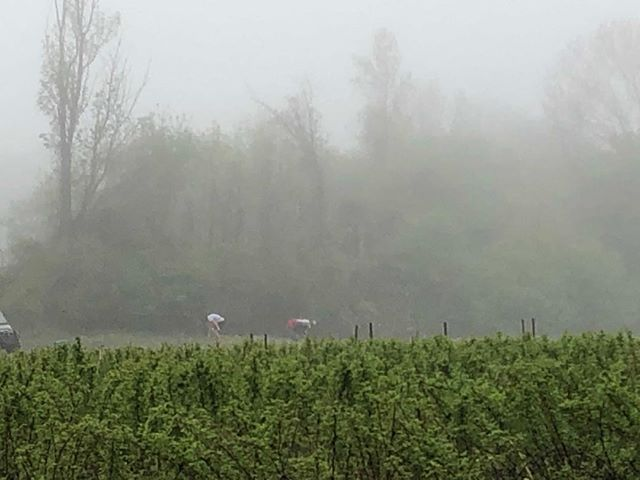 If we can find it, we can pick it. Foggy morning in the asparagus patch to cut fresh for the store and the Downtown Farmers Market.