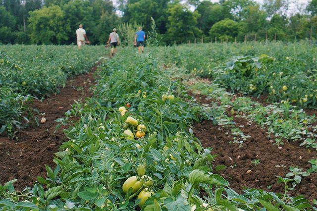Curries market farm crew hard at work in the fields and at he market to bring you freshly picked & organic produce! #organic #farmfresh #eatlocal #fieldtomatoes