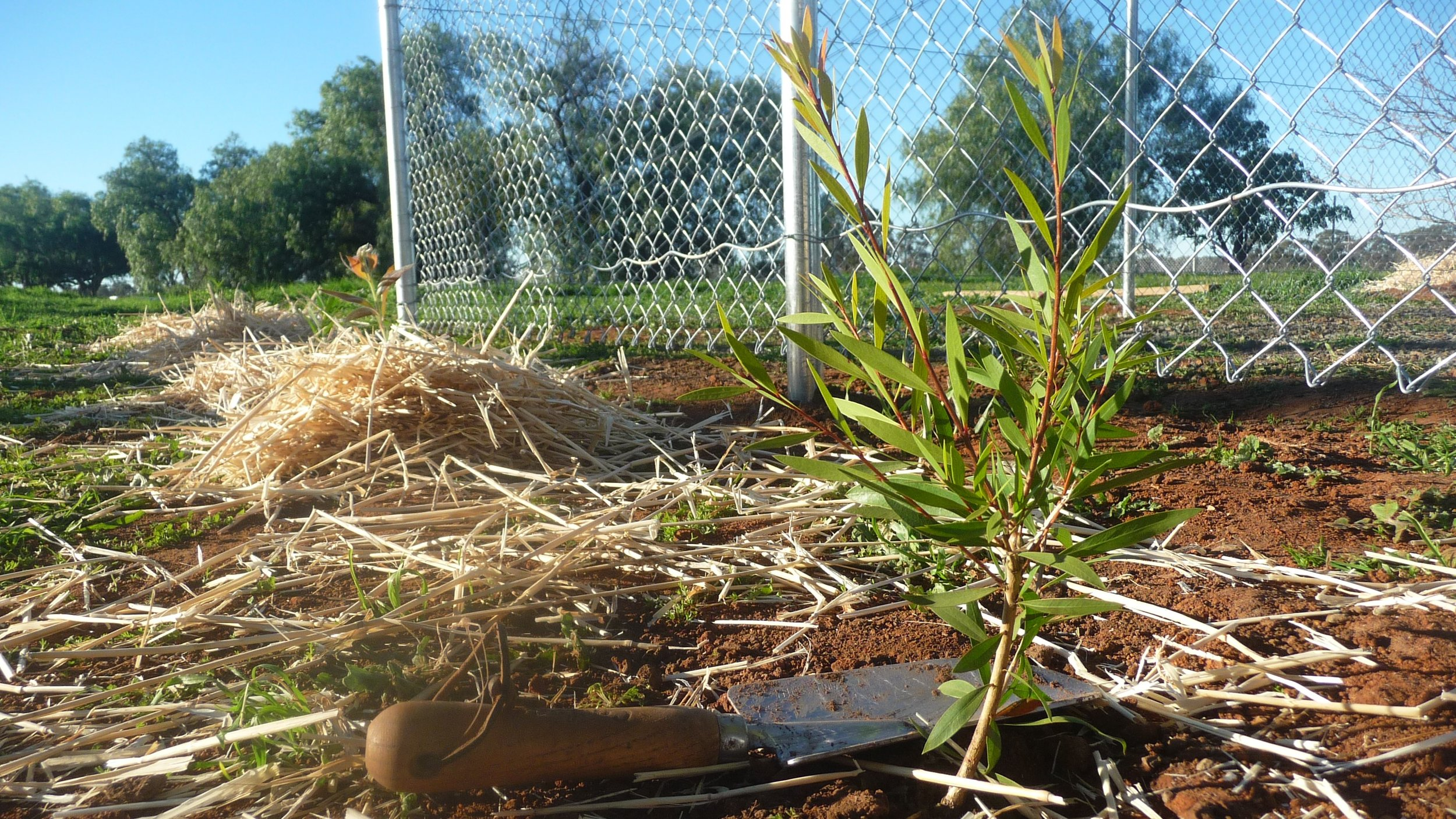 A seedling planted in front of the new fence