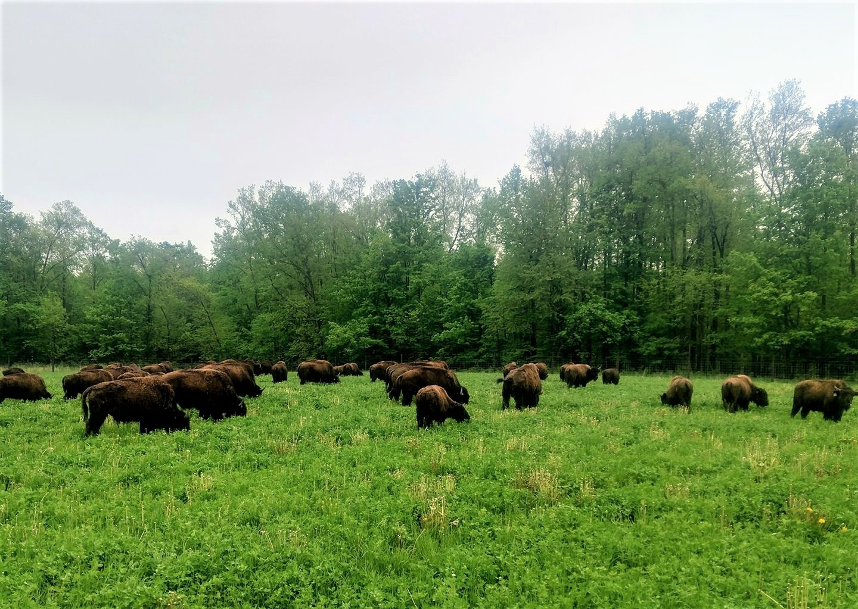 Enjoying their grass buffet