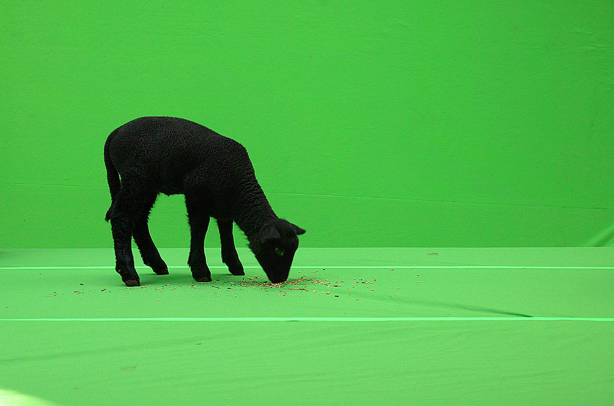 Kirsko Film Animals Black Sheep Greenscreen 800pxh.jpg
