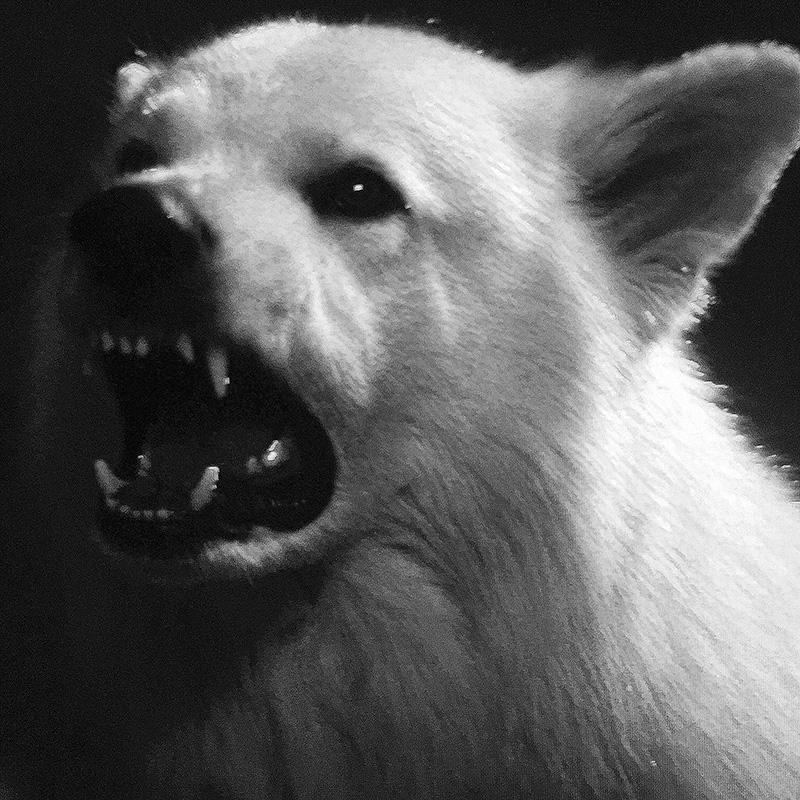 Kirsko Film Animals Zar Wolf Pup 800spx.jpg