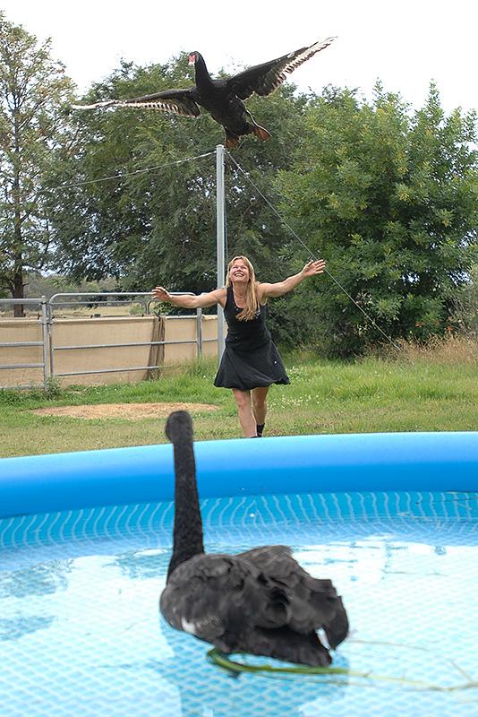 Kirsko Film Animals Kirstin Feddersen Black Swans 800pxh.jpg