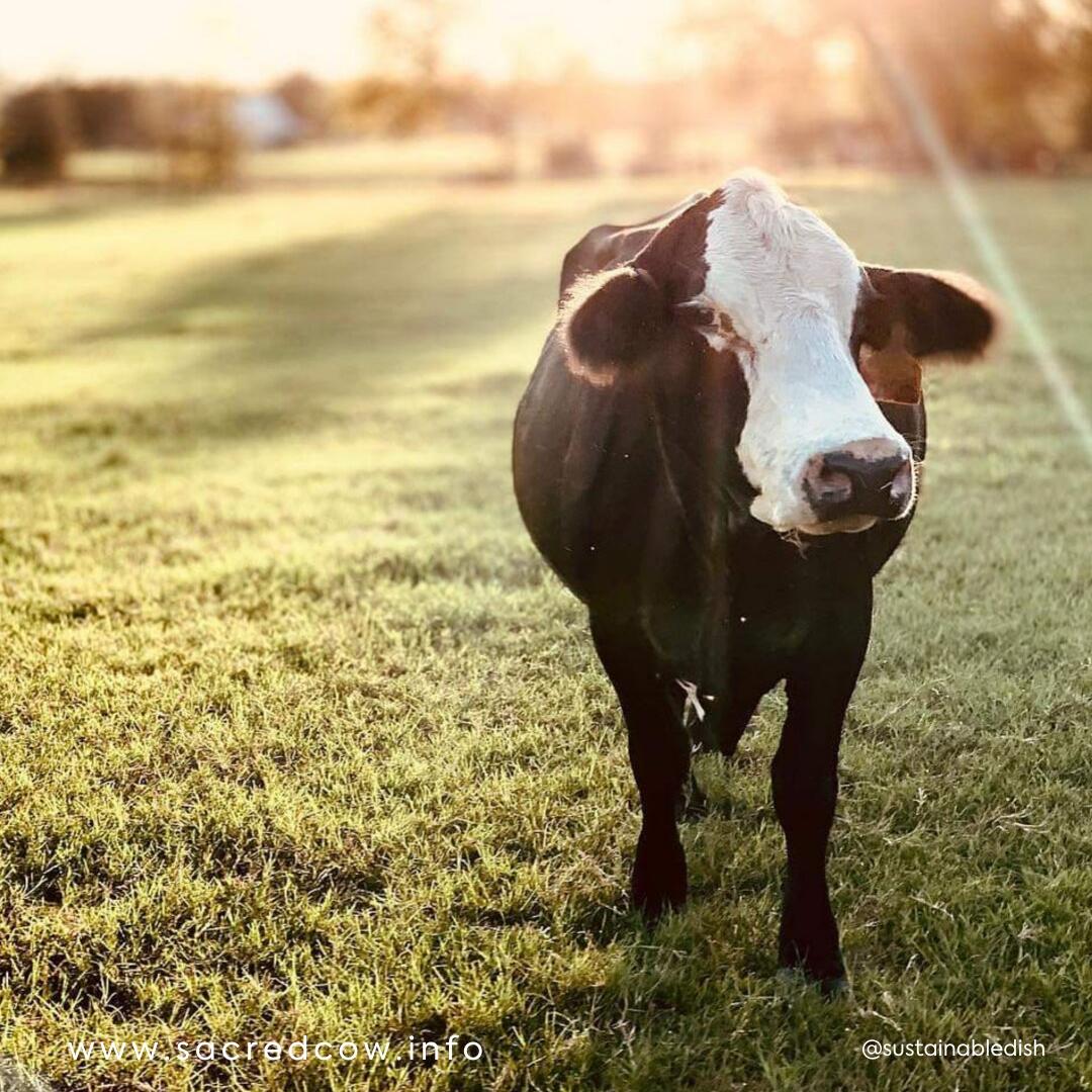 Meg's Cow Image Card.png