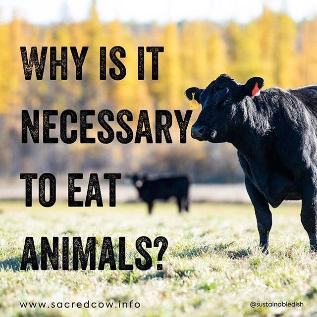 """In order to produce vegetables, animals are killed in the process. Is it still morally better to eat vegetables?? ? If you equate the life of a rabbit or chipmunk as equal to that of a cow, and are truly looking to kill the least amount of lives to feed your own, then I would argue that killing one cow that lived on pasture is actually causing less death than the number of animal lives that are lost by modern row cropping techniques. The principle of least harm may actually require the consumption of large herbivores (red meat).? ? In the latest post on the Sacred Cow blog, I discuss the ethical argument of eating animals.? ? If you've ever asked or have been asked, """"Why is it necessary that we eat animals?"""" this post is for you.? ? Click the link in my bio for the post.? ? ? ? ? ? ? ? ? ? ? ? ? ? #ethicalmeat #ethicalmeateating #meatresponsibly #eatmeat #bettermeat #pastureraised #grassfed #carbonsequestration #ethicalomnivore #eatmoremeat #livestock #yes2cattle? ? www.beiqilianghang.com/blog/why-is-it-necessary-to-eat-animals"""