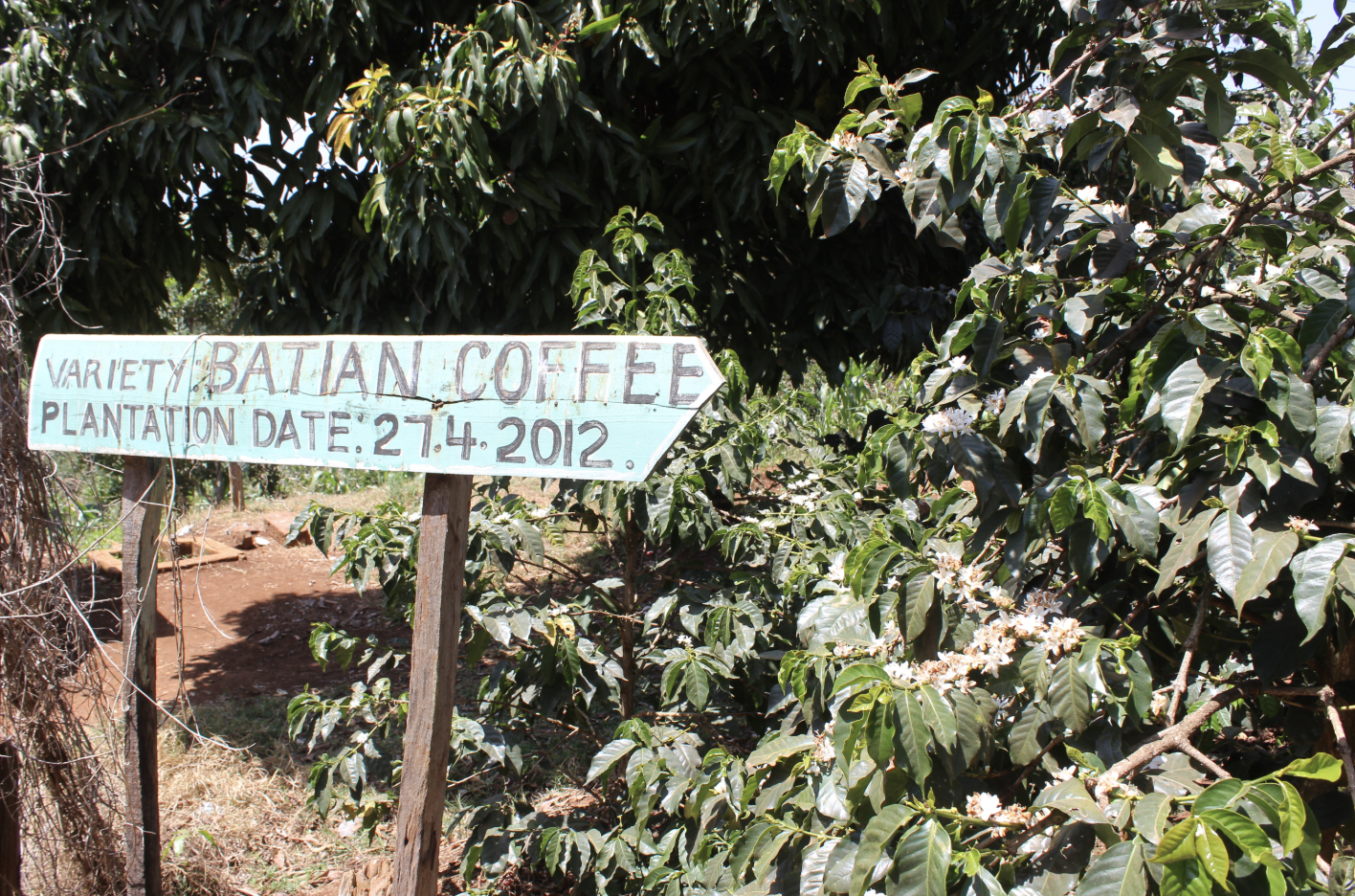 Batian Coffee Variety at Gathaithi