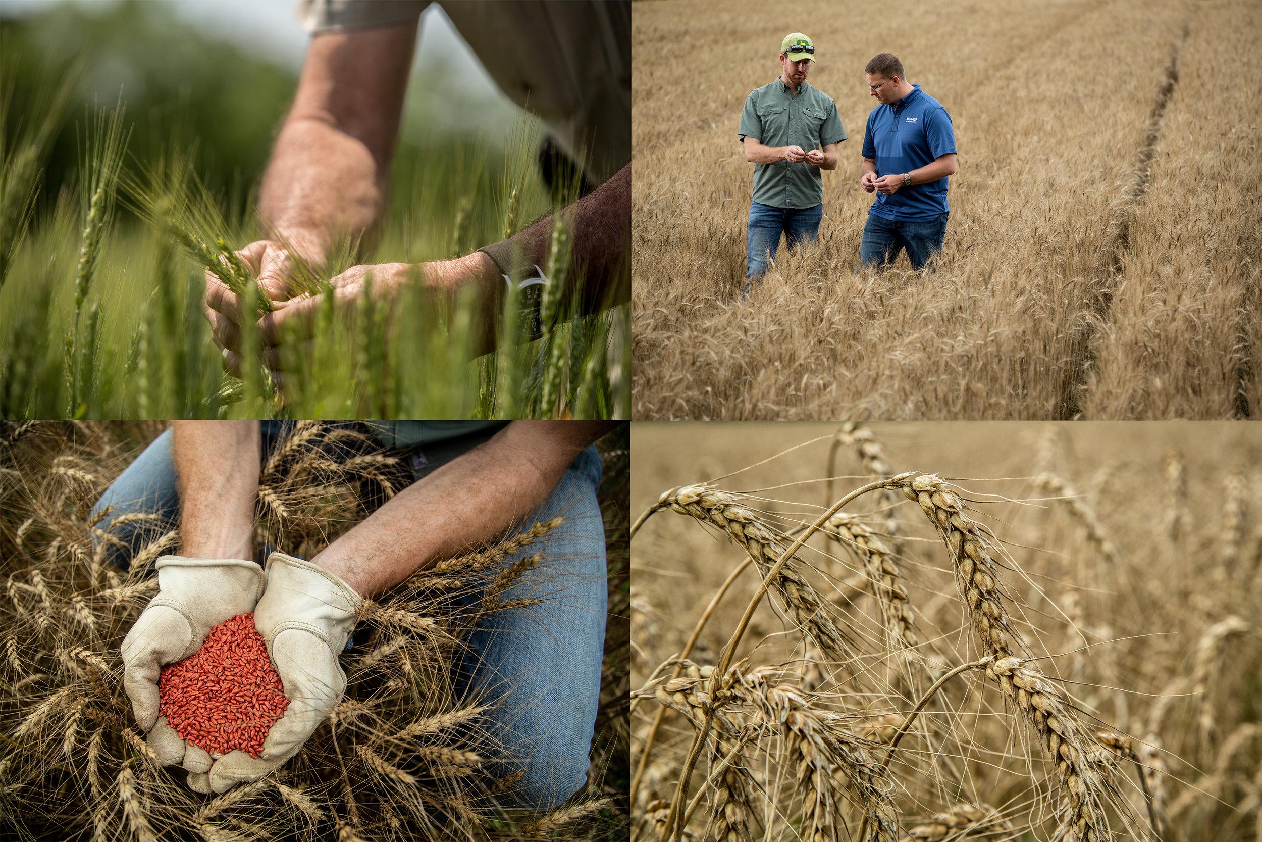 Ag - Wheat.jpg