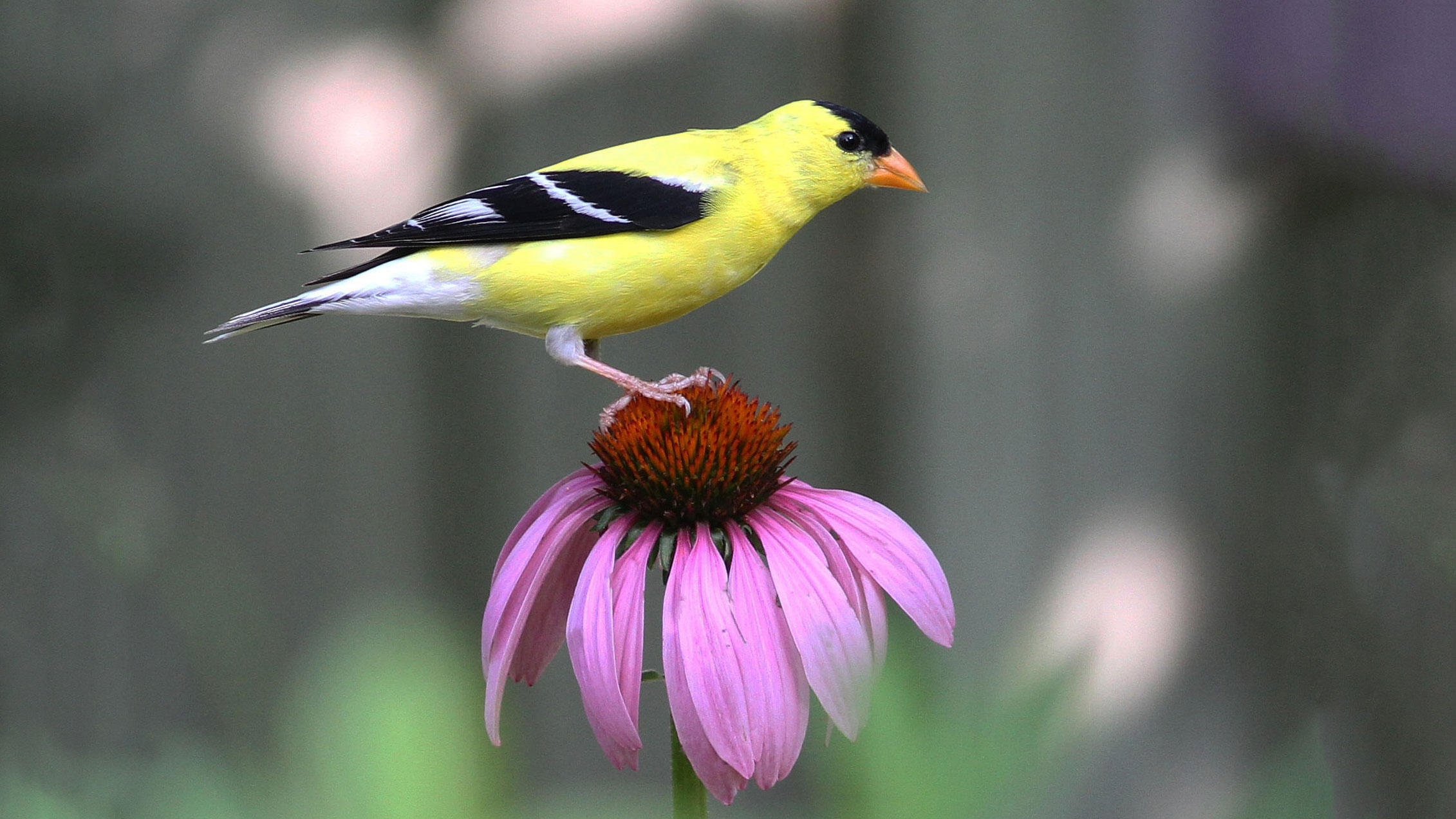 Purple coneflower and American Goldfinch. Photo: Will Stuart
