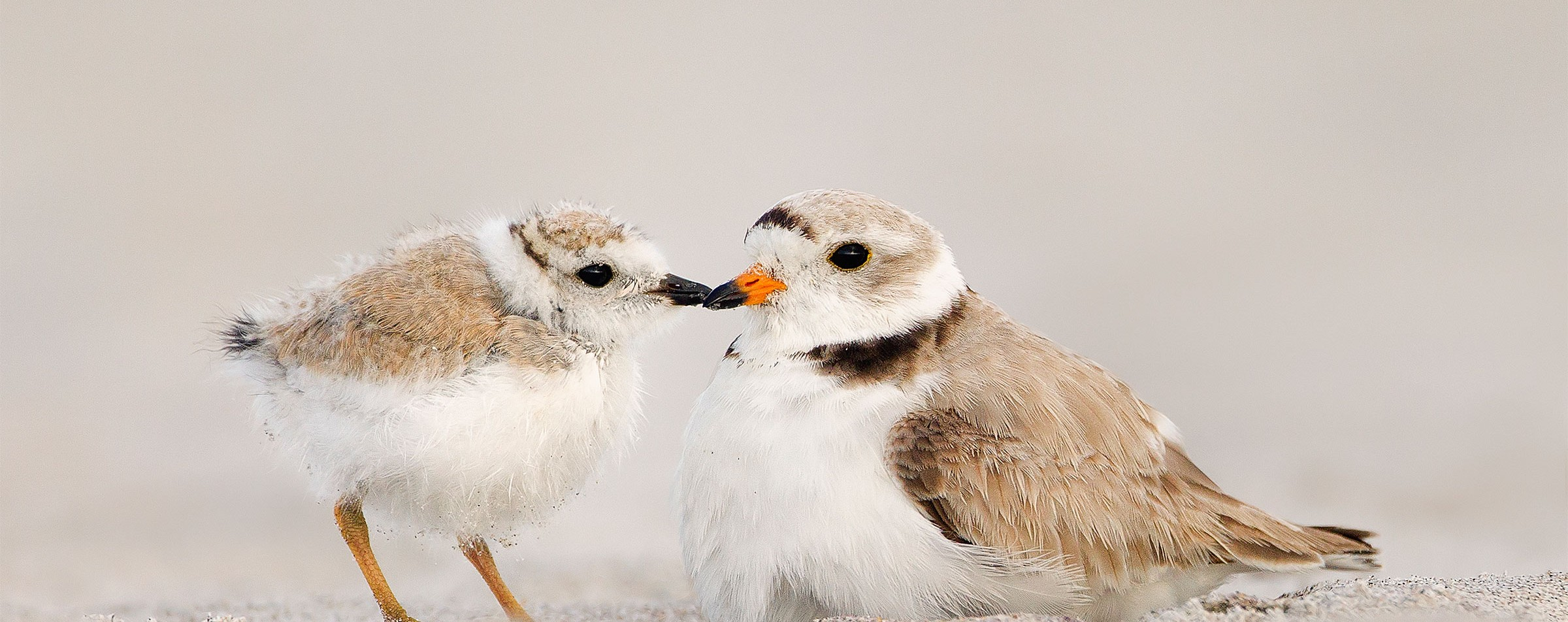 Piping Plovers. Photo: Melissa Groo/Audubon Photography Awards
