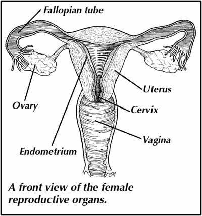 uterus.png