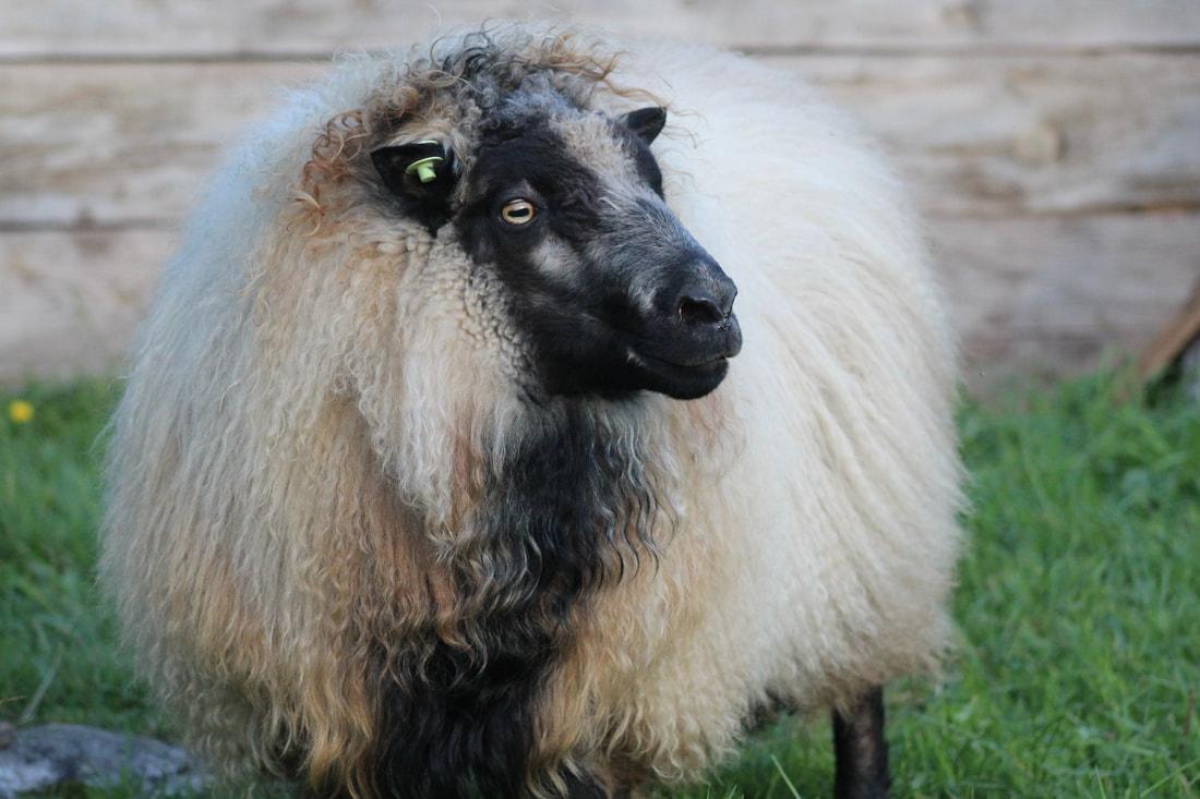 polled sheep.jpg