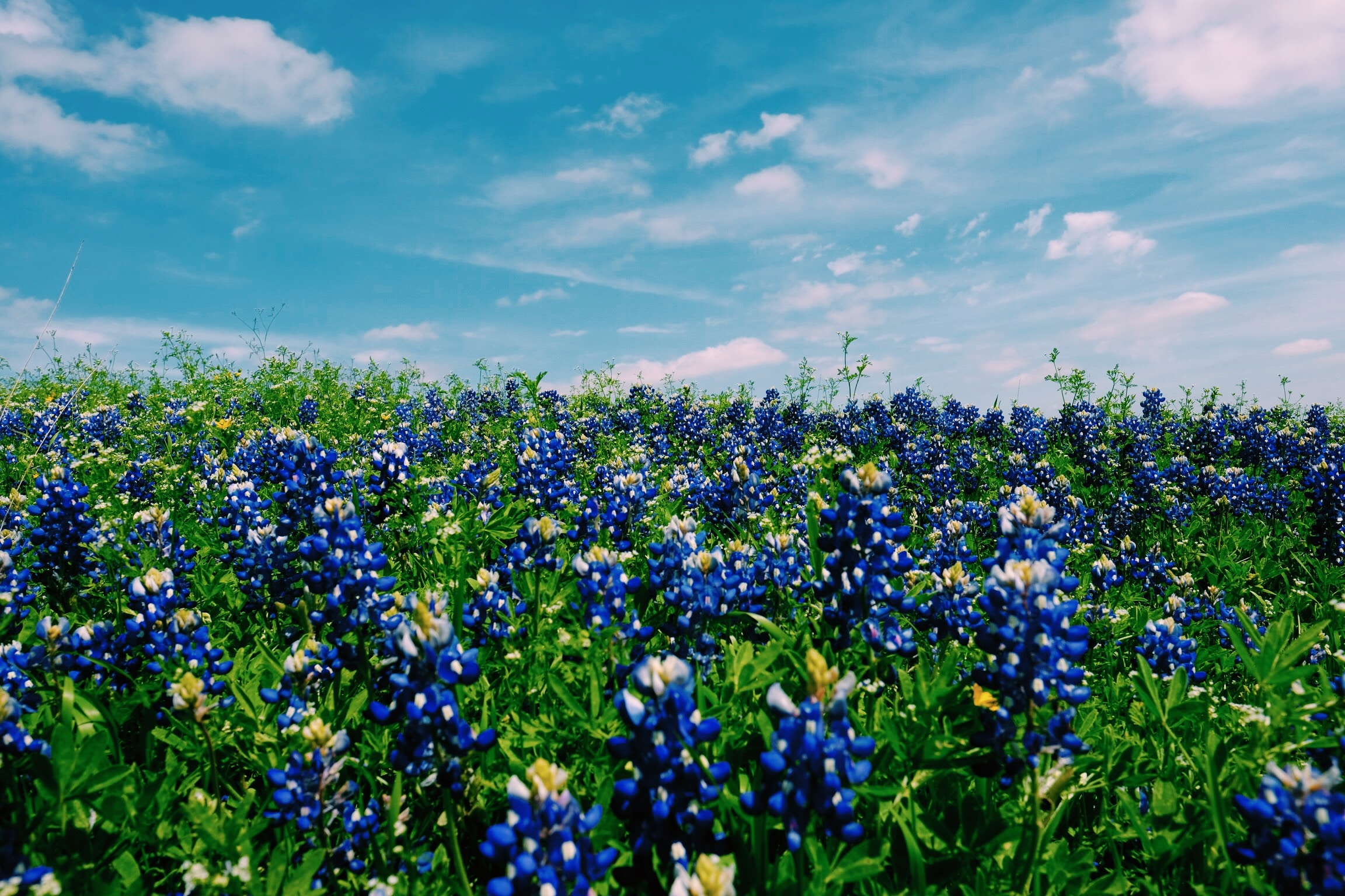 website - bluebonnets.jpg