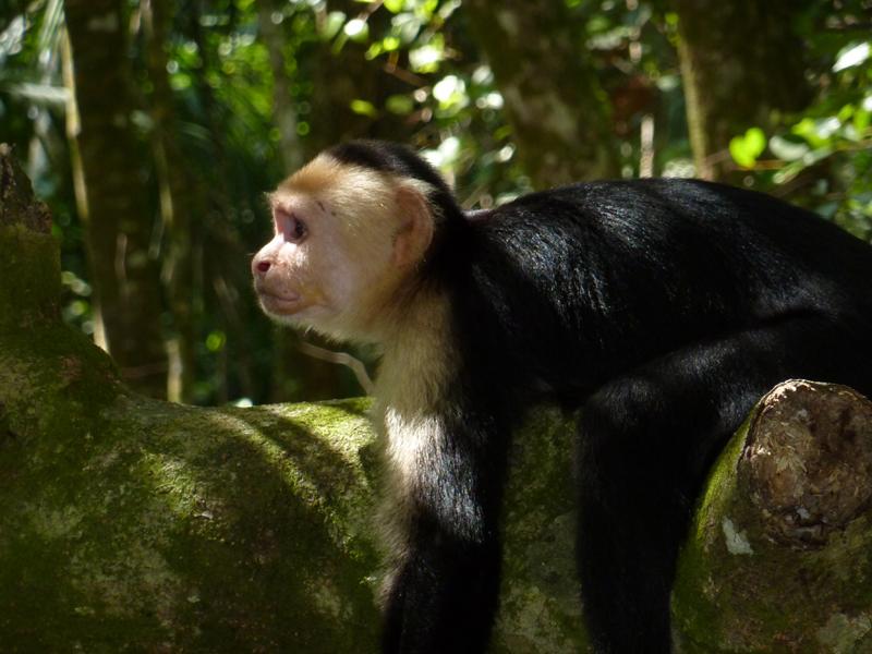 Monkey in the trees.JPG