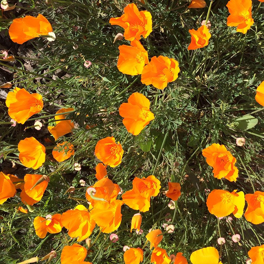 Flwrs Poppies 1-1 Web.jpg