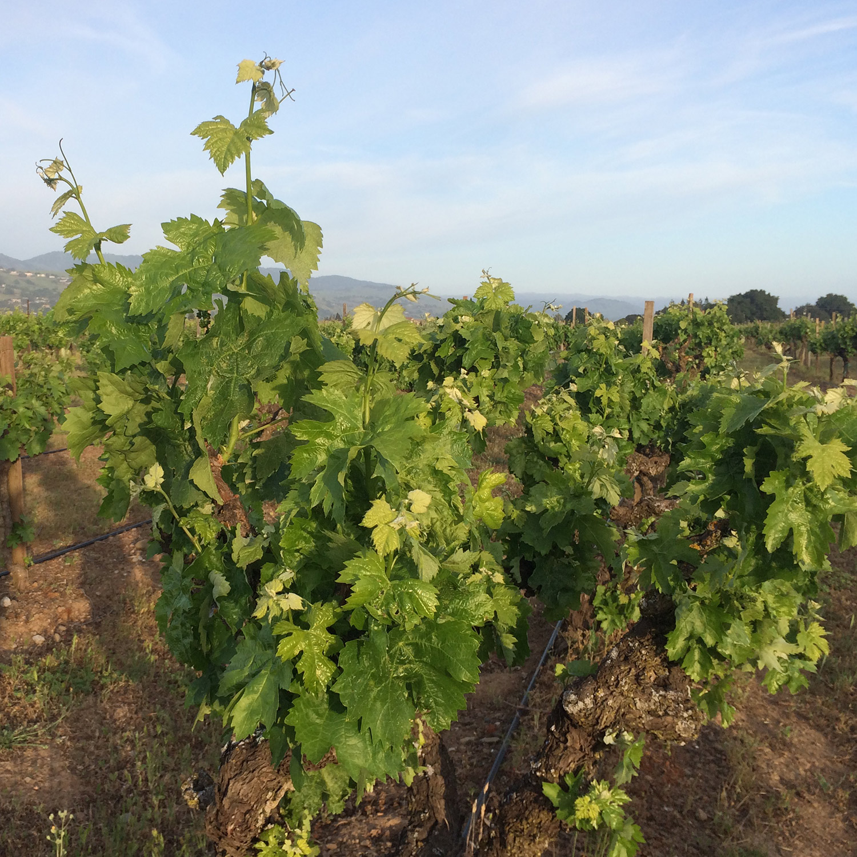 Vineyard 1-1 Web.jpg