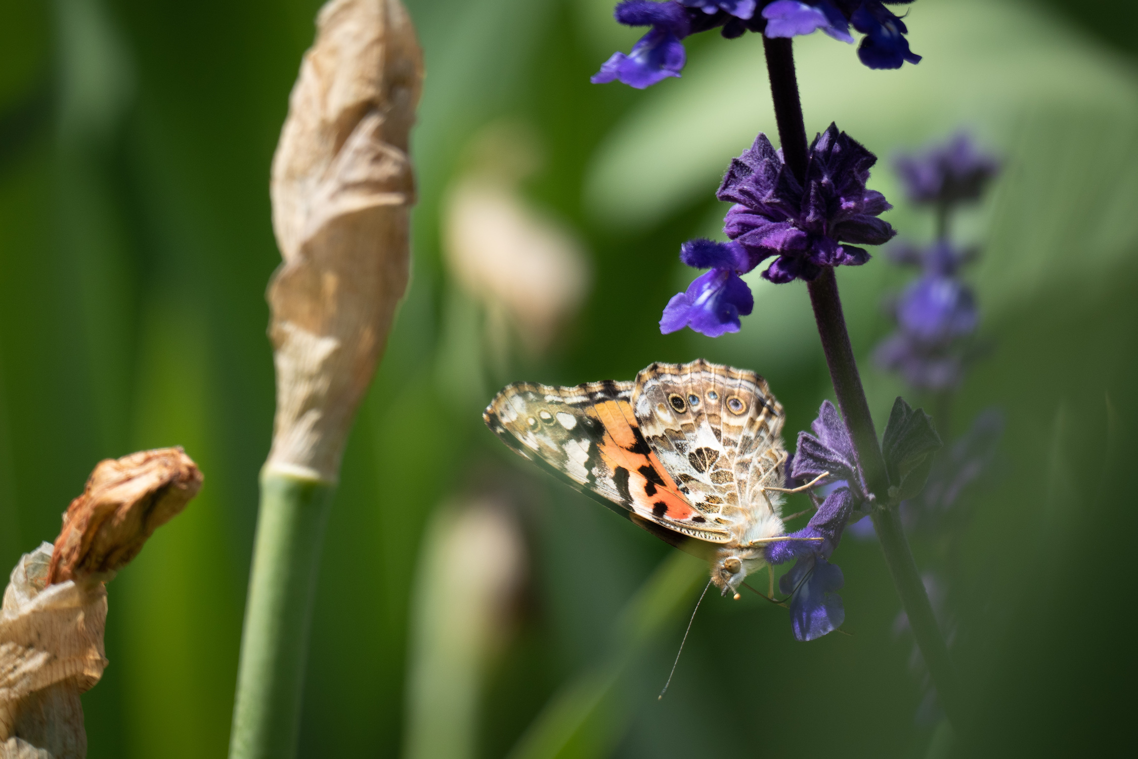painted_lady_butterfly.jpg