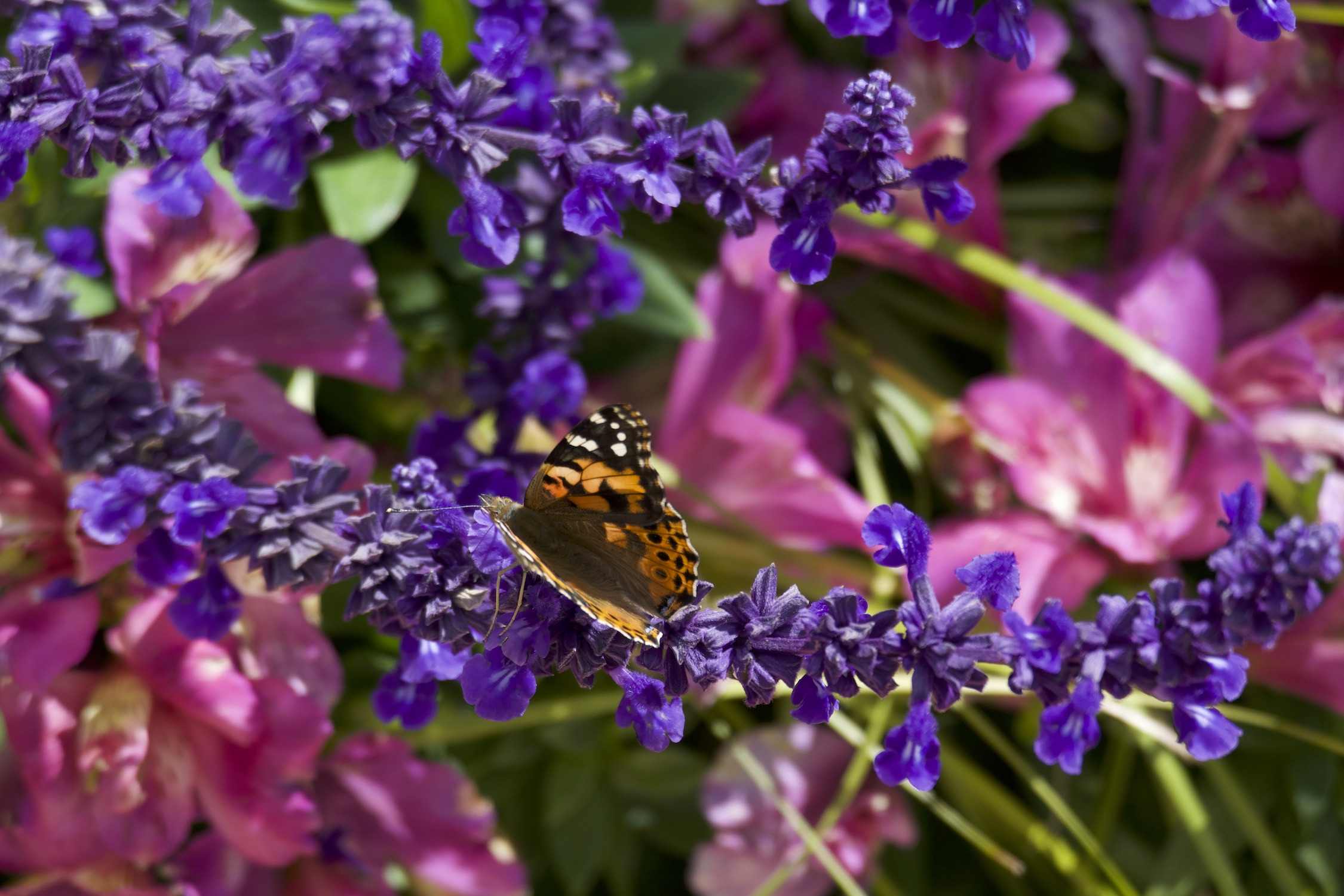 painted_lady_butterfly 3.jpg