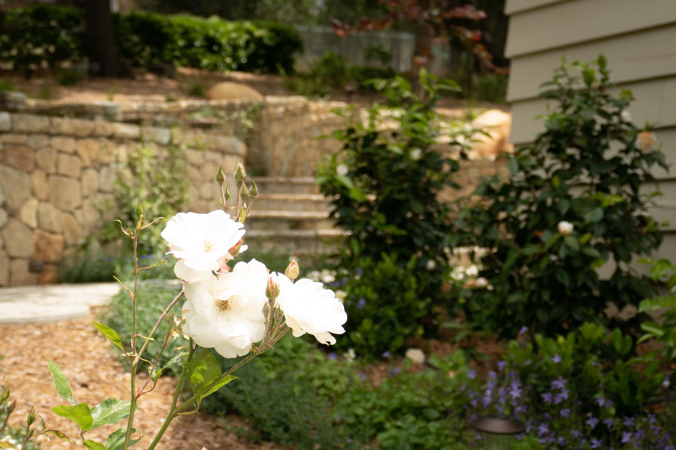 rose_in_side_yard.jpg