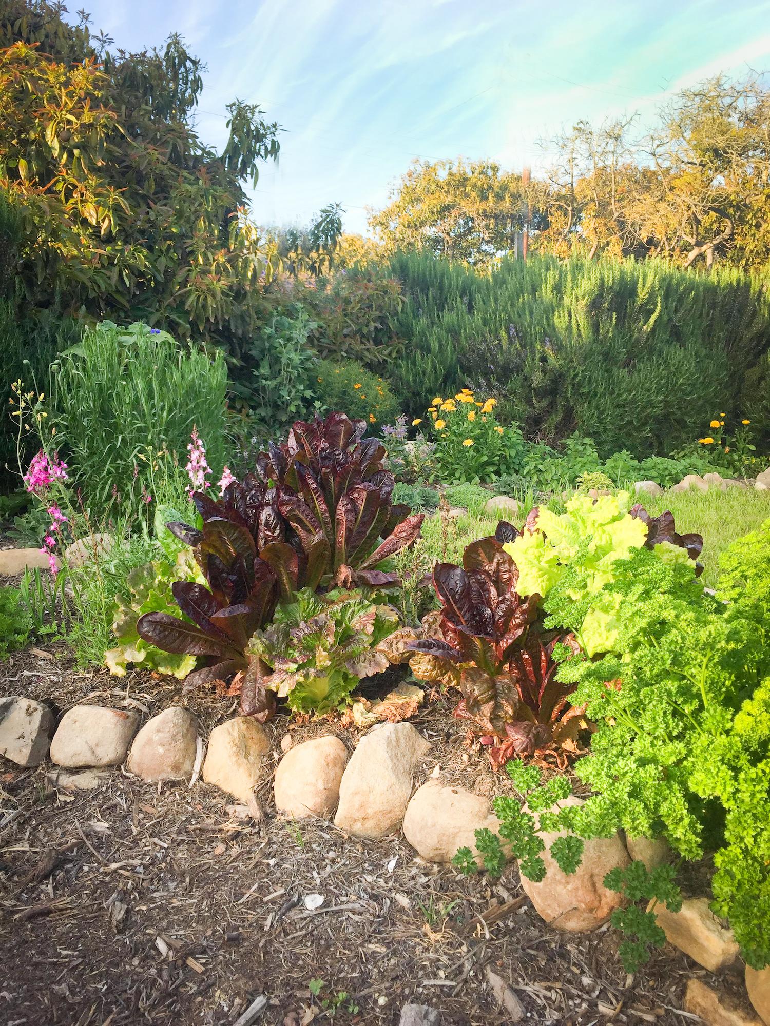Lettuce in vegetable garden-2.jpg
