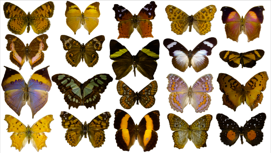 Nymphalinae butterflies from Reinke and Lawing ( in prep )