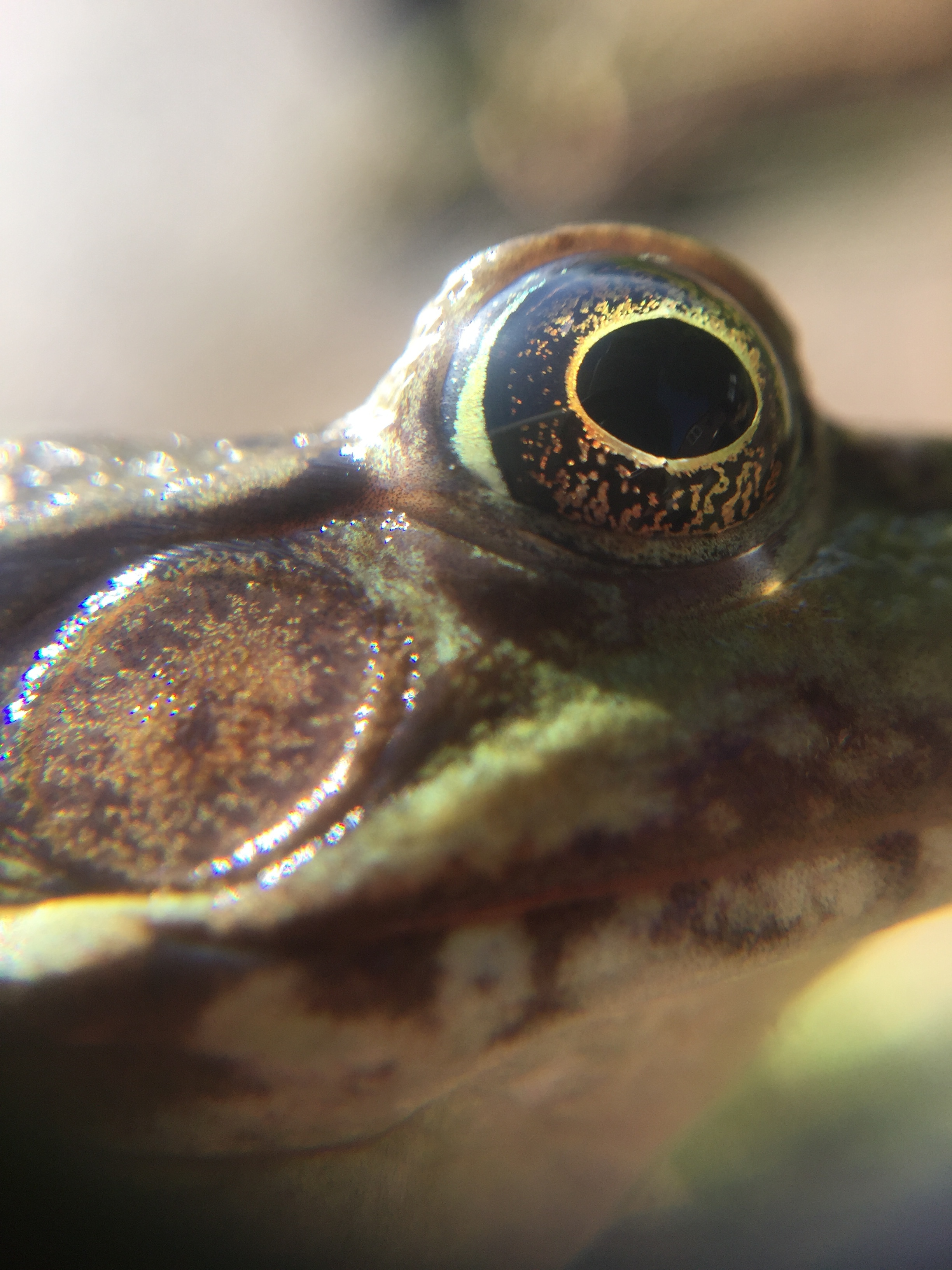 Close up image of the tympanum and eye of a green frog