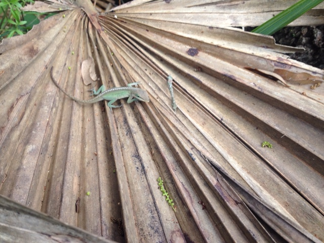 Anolis on a dried palm frond
