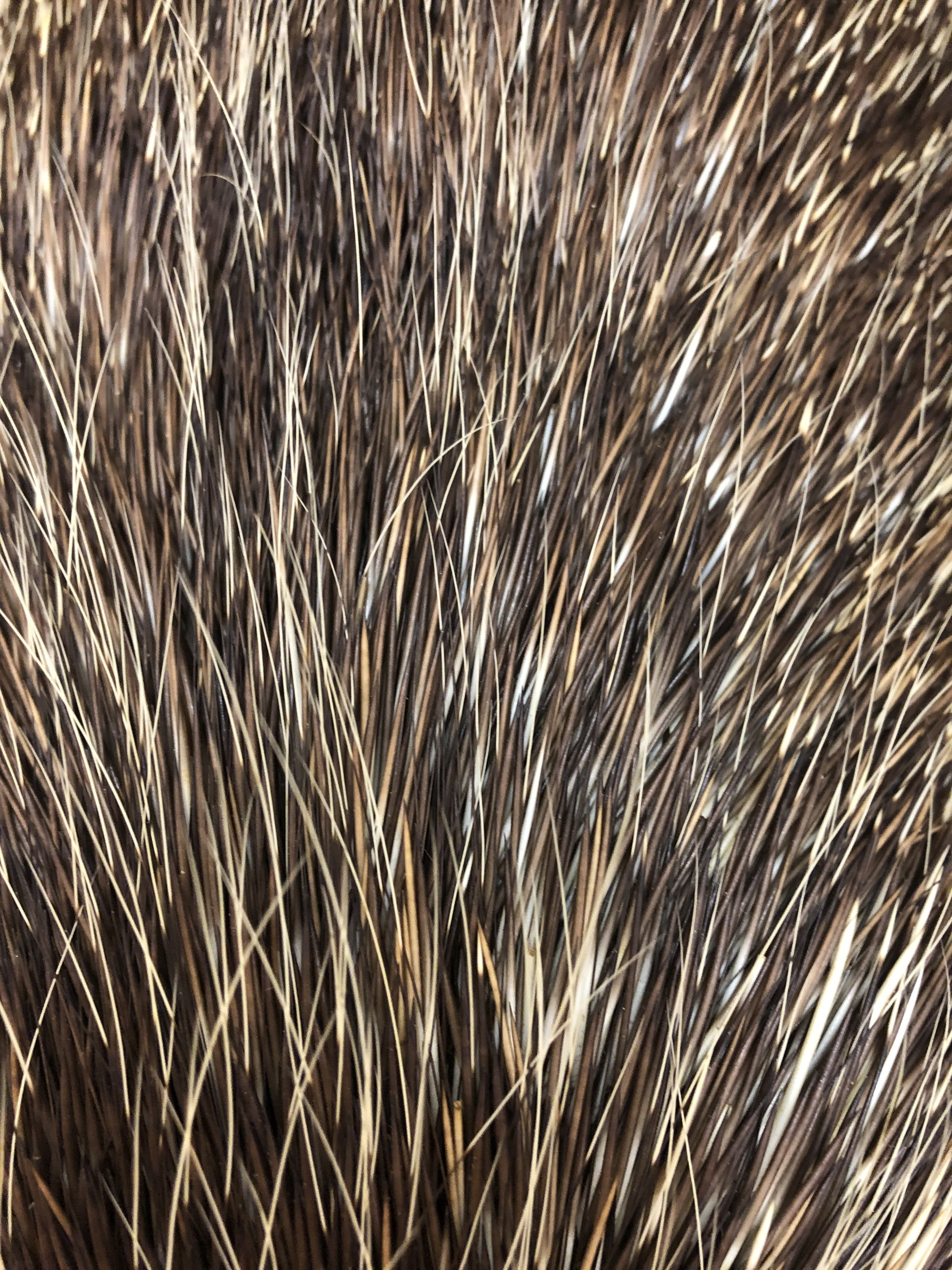 Porcupine fur showing a range of colors