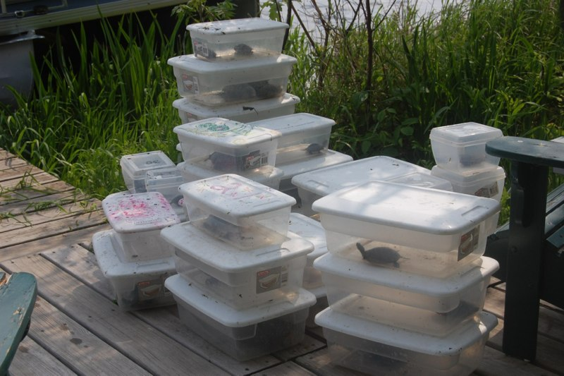 Bins of turtles awaiting data collection
