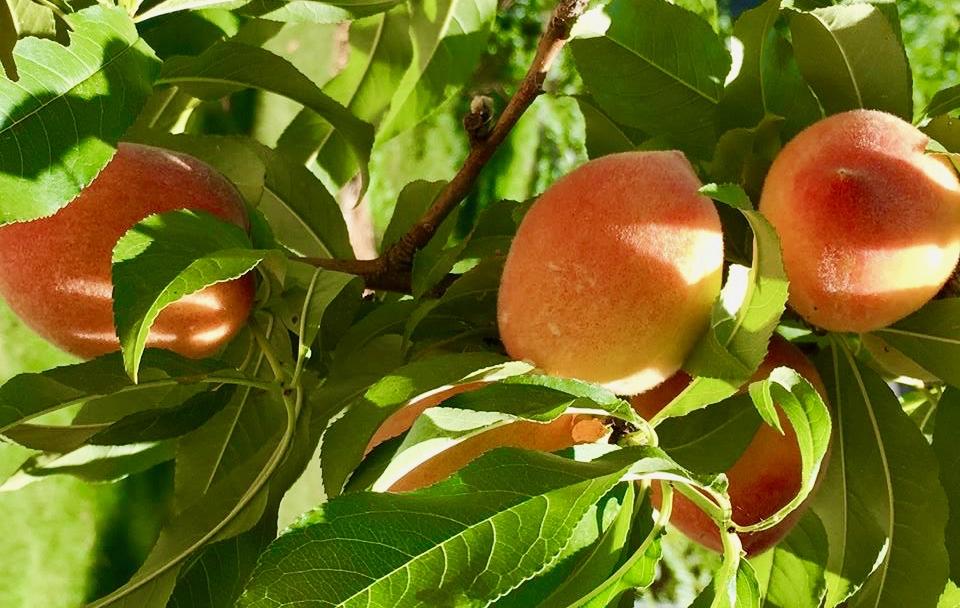 dove-cottage-little-peach-tree.jpg