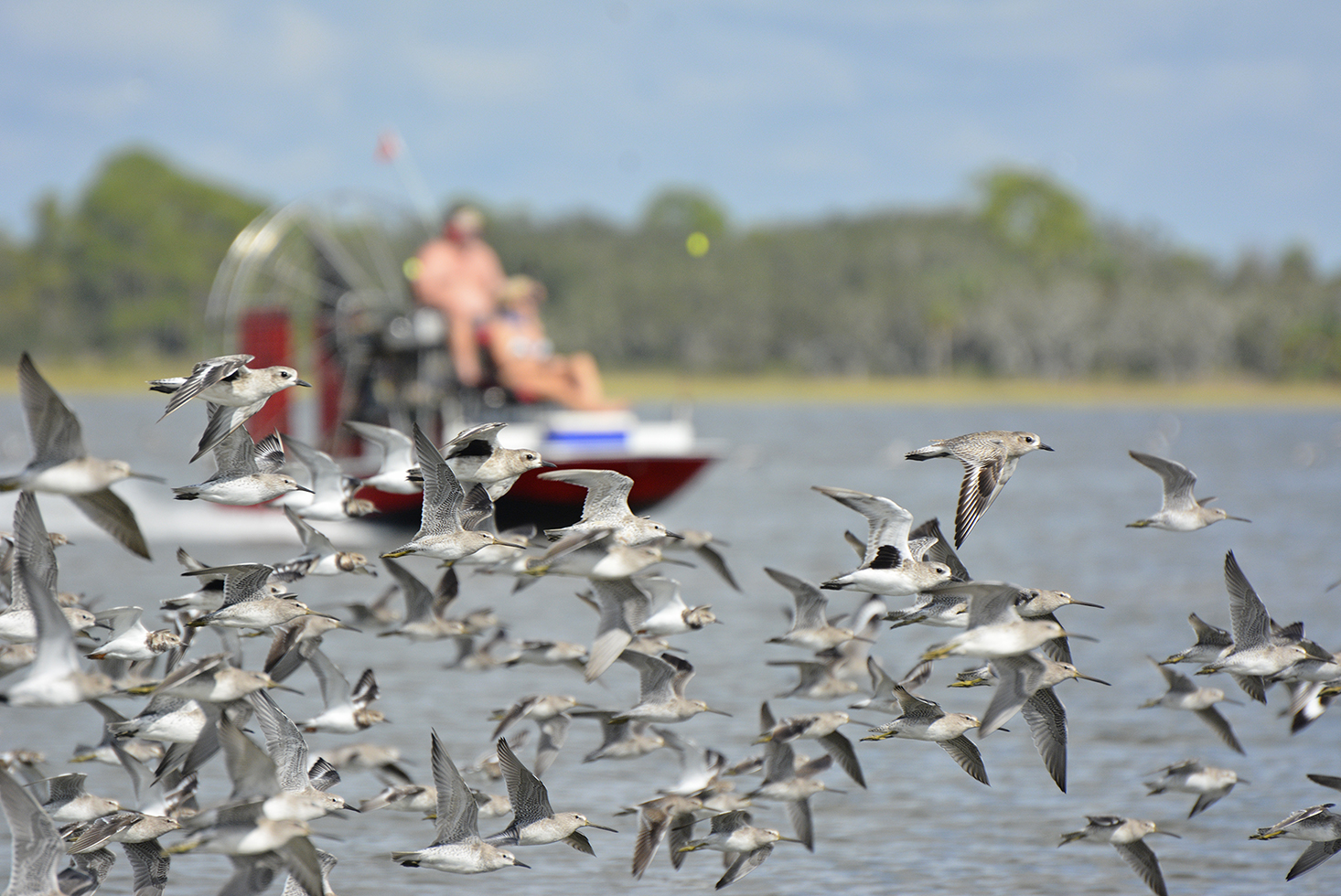 A flock of shorebirds is flushed from a roost by an airboat in coastal Florida. Photo: P. Leary
