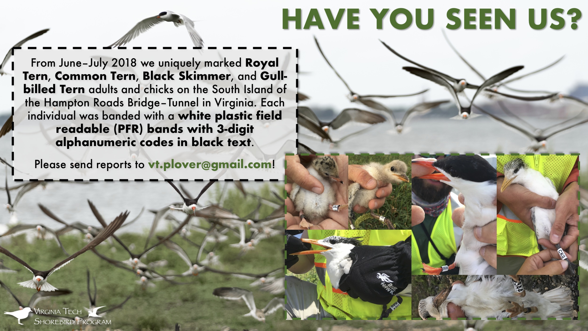 Image 2  An example of our tern and skimmer banding scheme used in Virginia in 2018