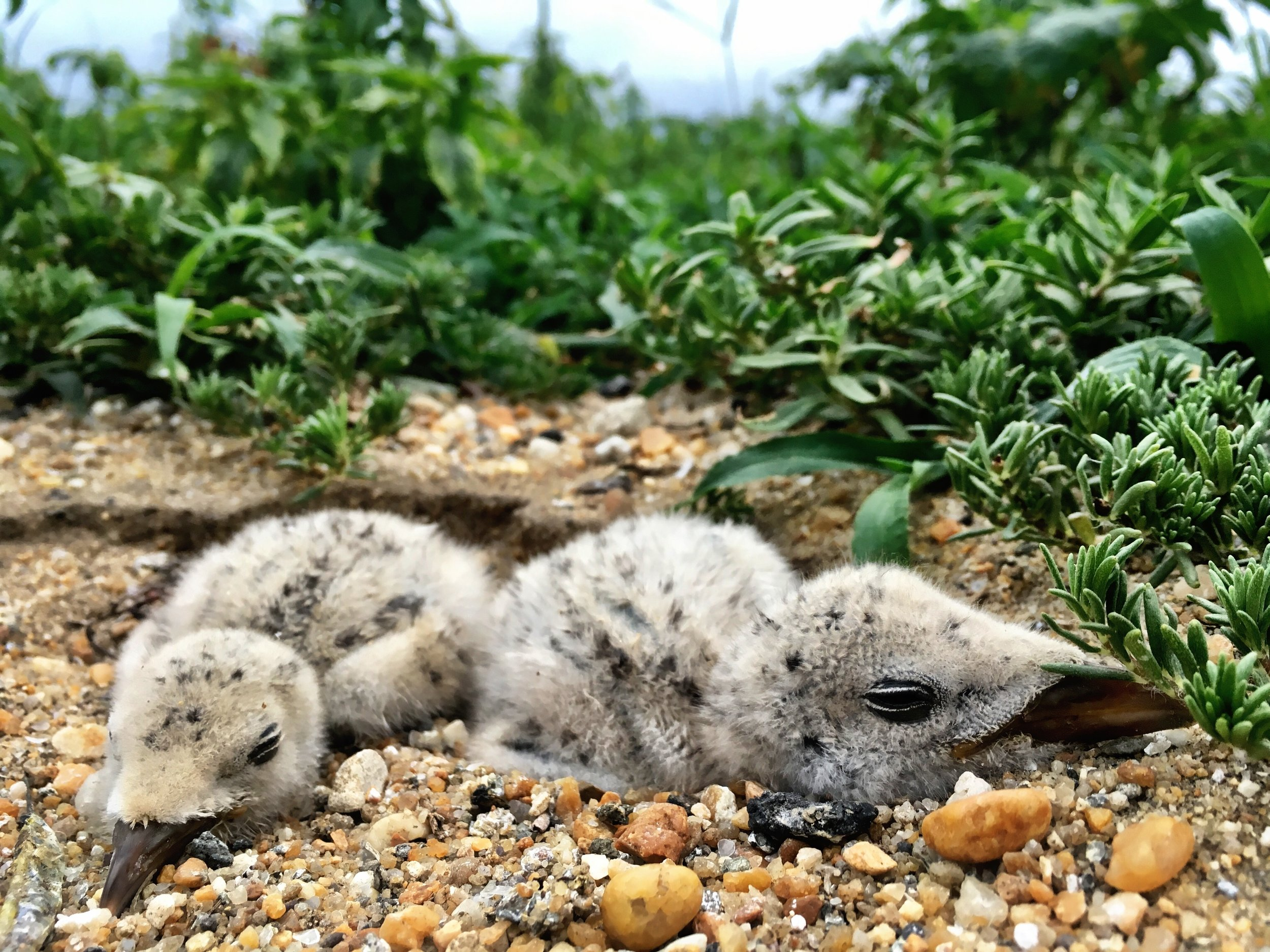 Black skimmer chicks  We mark young birds to monitor their survival prior to their first flight. These studies help us provide timely recommendations for our federal, state, and NGO partners charged with managing these species.