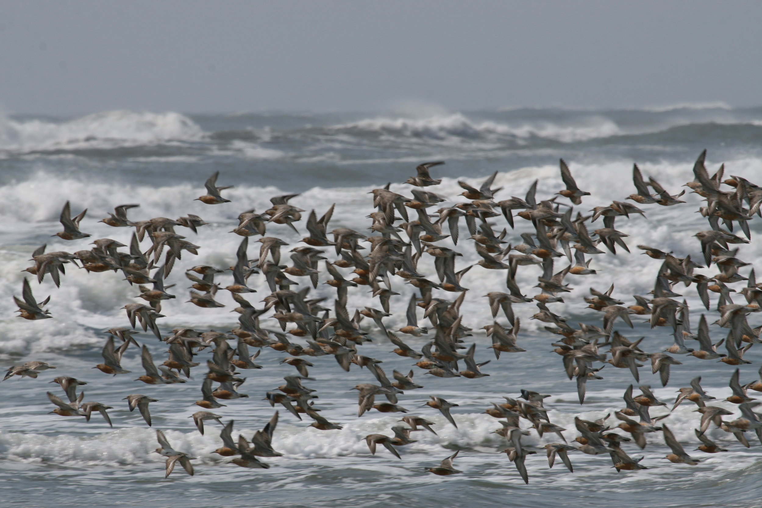 A flock of red knots flushes on the eastern shore of Virginia. Photo: B. Truitt