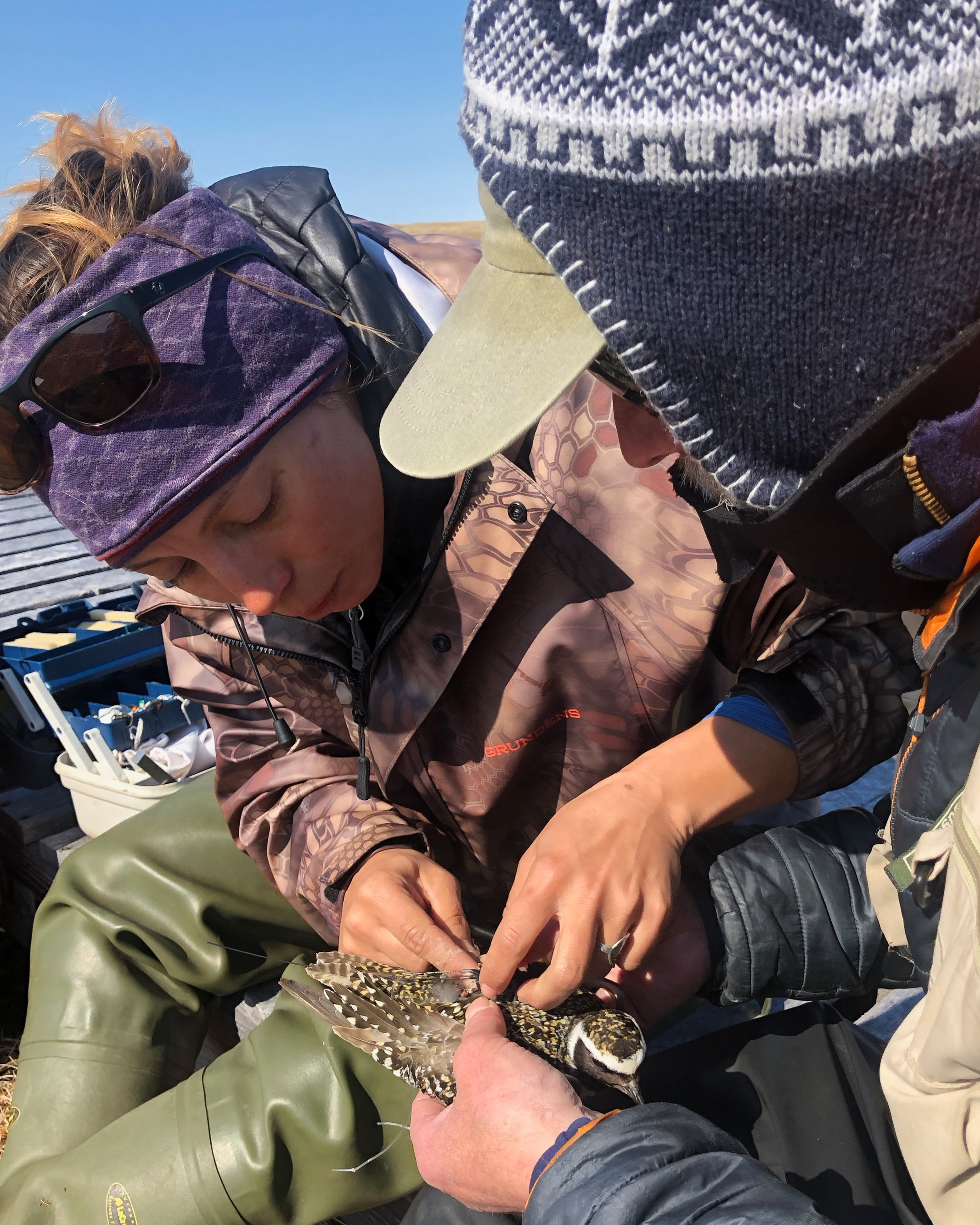 Lindsay Hermanns (VTSP) and Rick Lanctot (USFWS) attaching a gps transmitter an American Golden Plover as part of a collaborative project, studying the movement of Arctic shorebirds throughout the annual cycle.