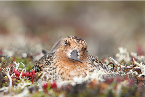 The spoon billed sandpiper is one of the world's most iconic and endangered shorebirds. Photo: Iosif Kaurov