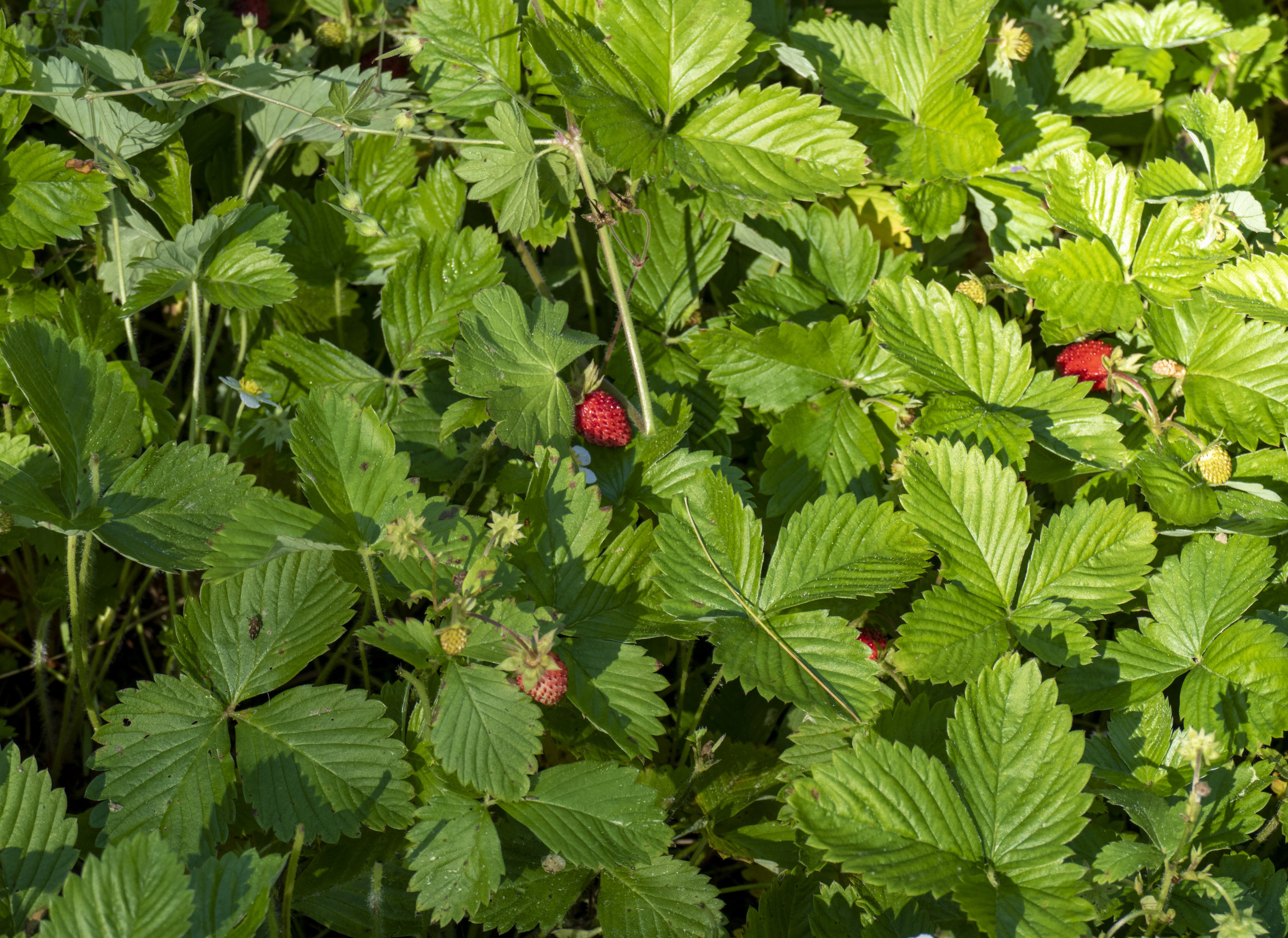 wildstrawberries_3.jpg