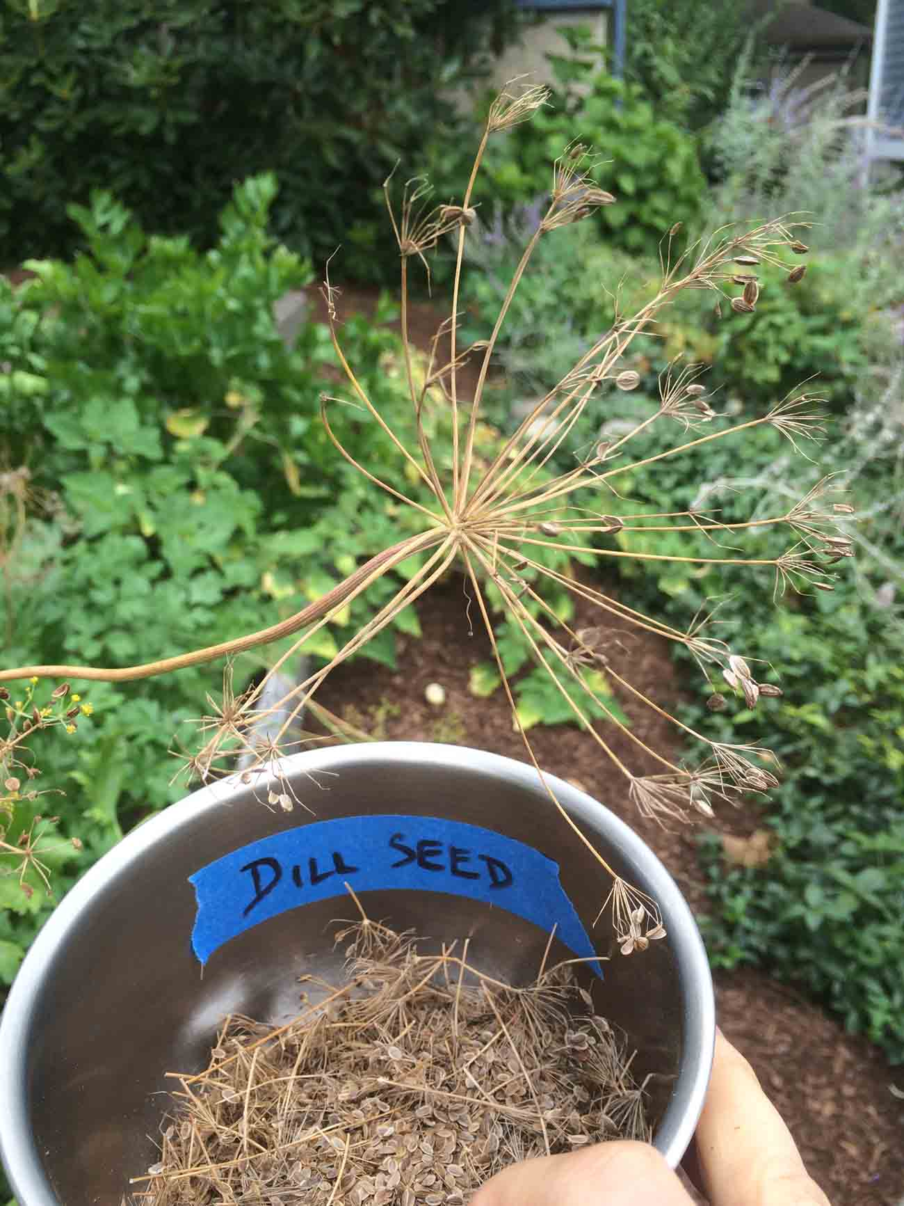 Saving dill seeds