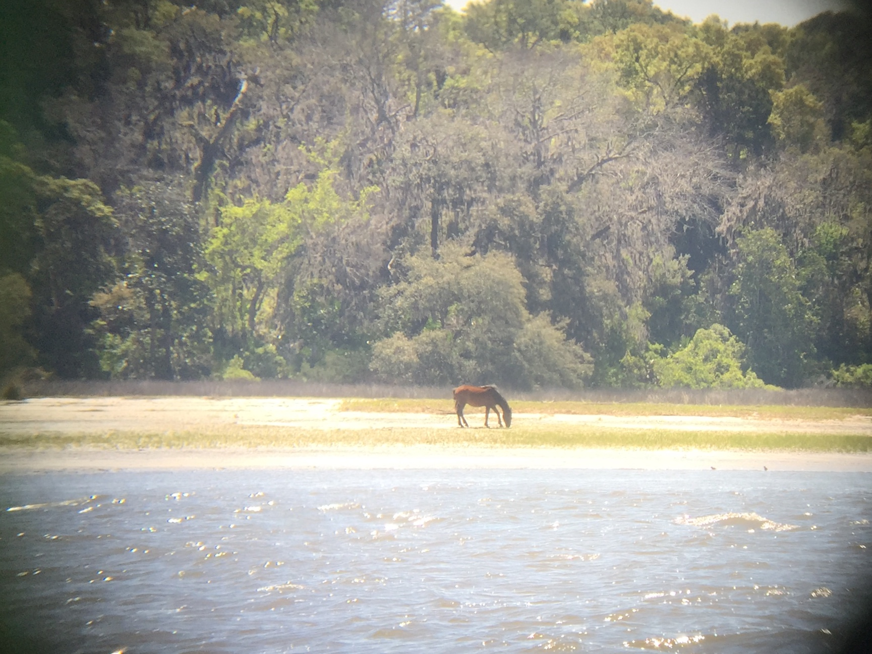 Wild horse spotted passing through Cumberland Sound, GA.