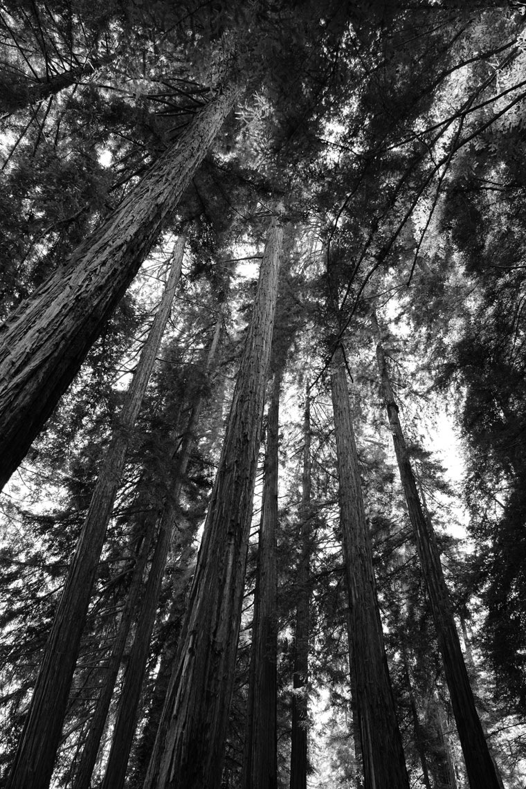 Redwood-Trees.jpg