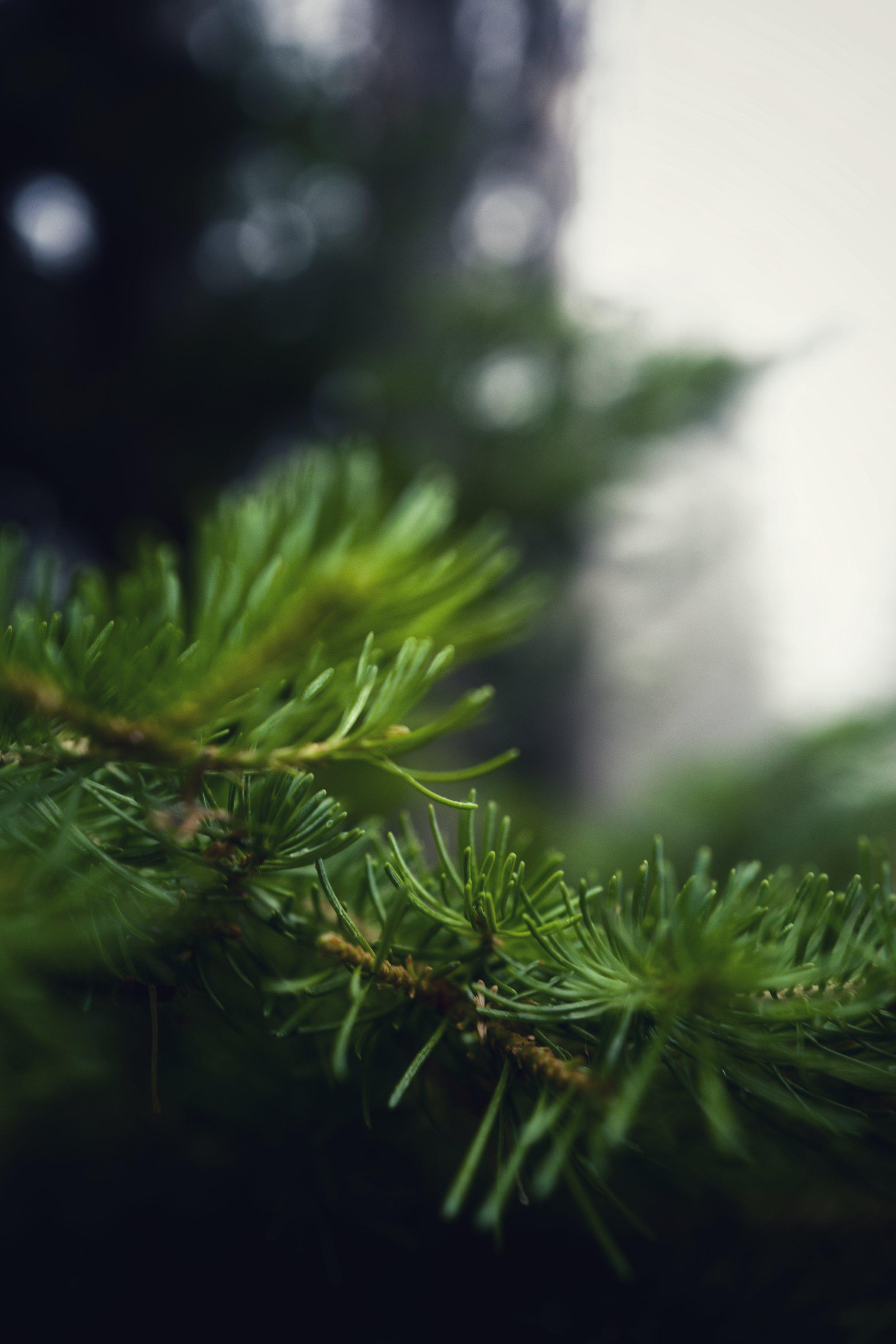 Pine Up Close.jpg