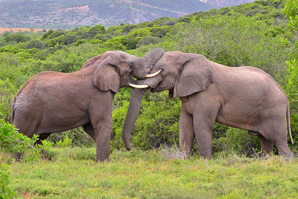 1 Elephants.jpg