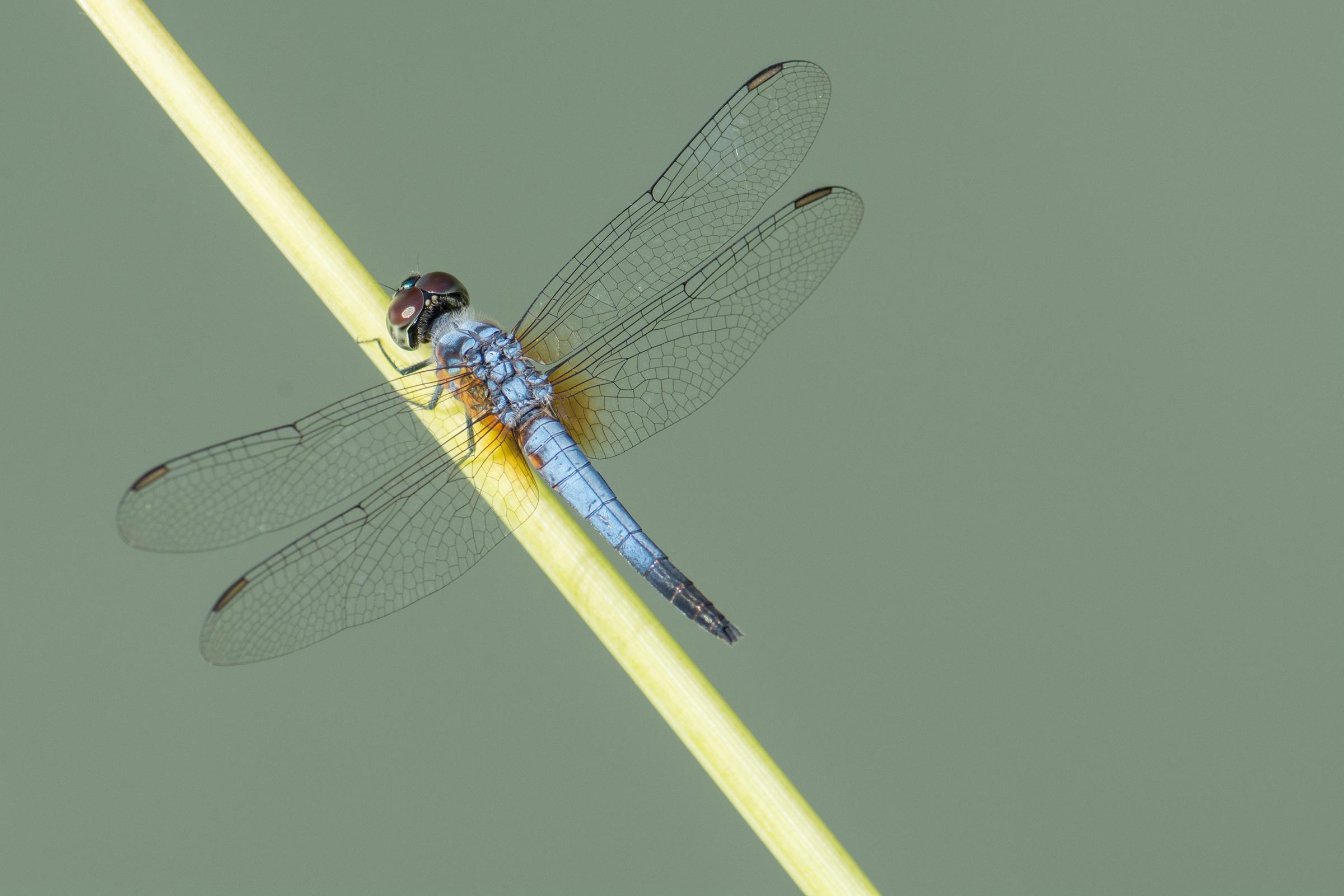 03 POWDER BLUE DWARF DAGON FLY.jpg