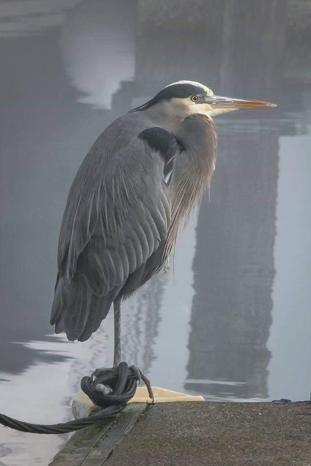 BILL_BLUE HERON.jpg