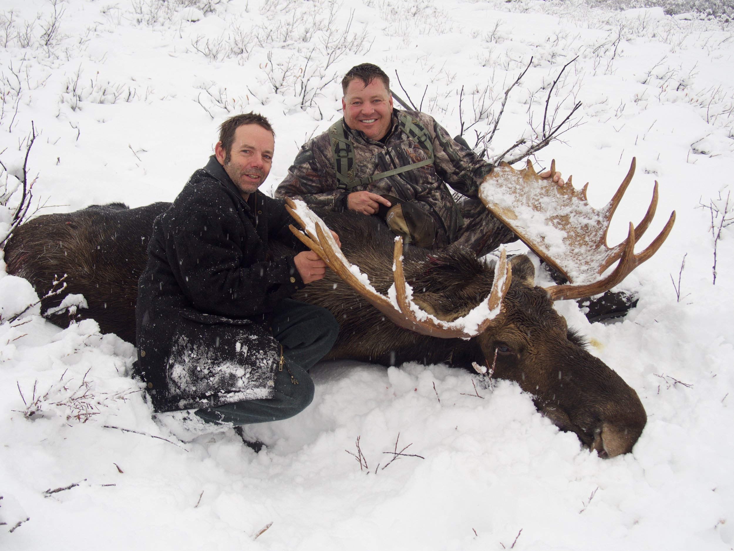 moose hunt - The Shiras Moose populations are strong with Bulls from 45 to 50 in.