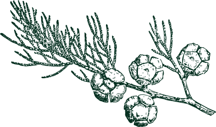 cypress illustration 2.png