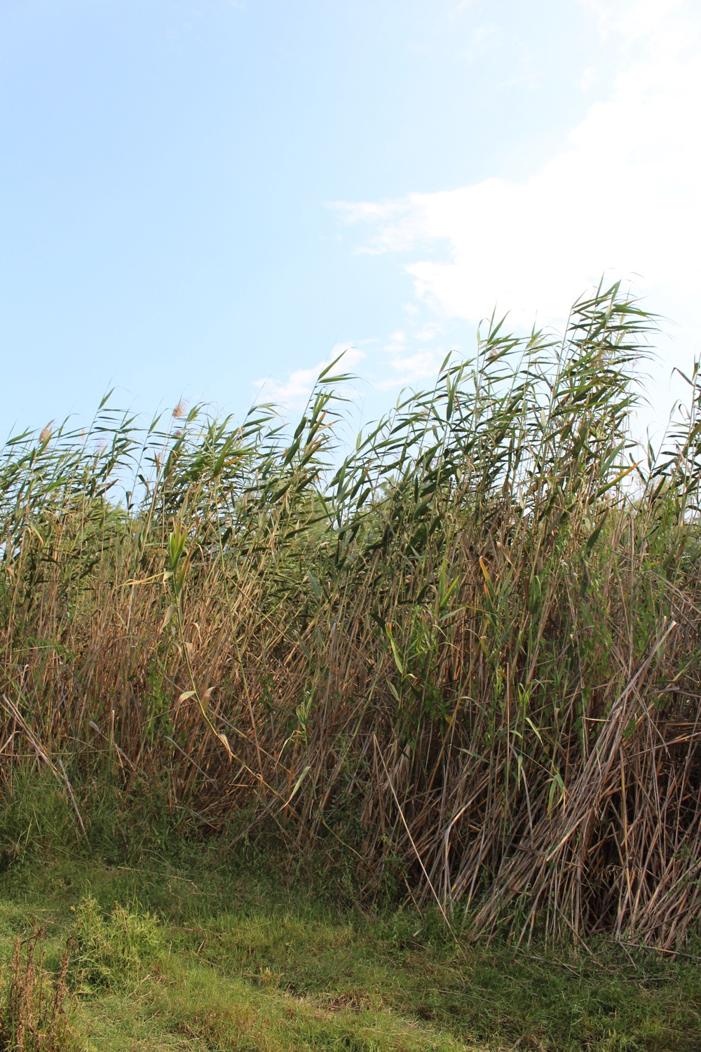 Reed beds of Vravrona